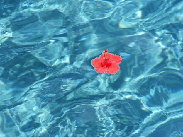 日本人の観光客の多いハワイの海に浮かぶハイビスカス